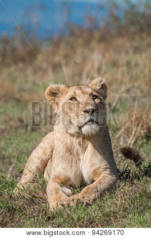 Lioness At Ngorongoro Crater