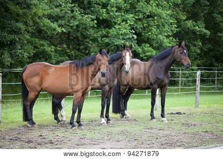 Three Warmblood Horses On Pasture