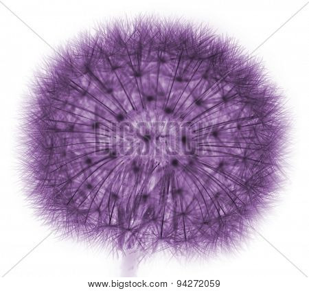 dandelion in purple on white