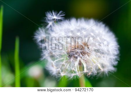 Dandelion Flower With Fluff, Macro