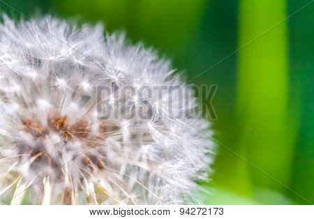 Dandelion Flower With Fluff, Macro Photo