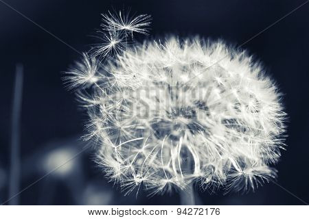 Dandelion Flower With Fluff, Monochrome Macro