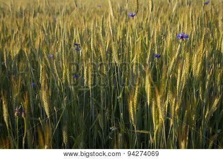 Cornflowers In Crop