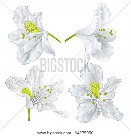 Rhododendron White Flower Vector