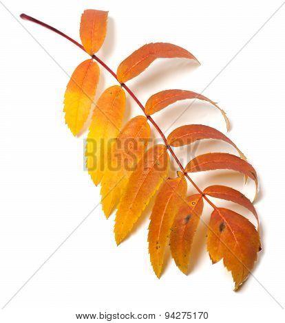Autumn Rowan Leaf