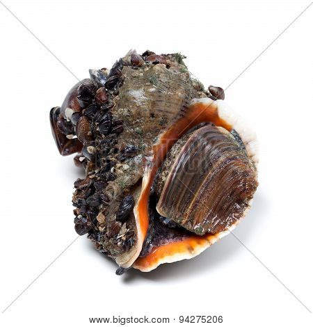 Veined Rapa Whelk Covered With Small Mussels