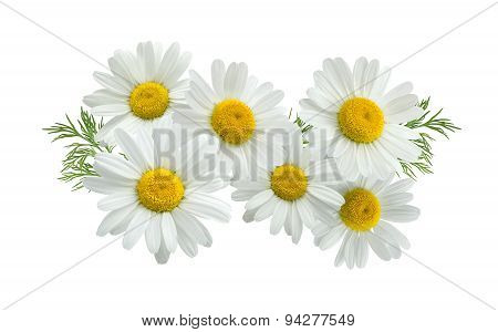 Camomile Group Long Isolated On White