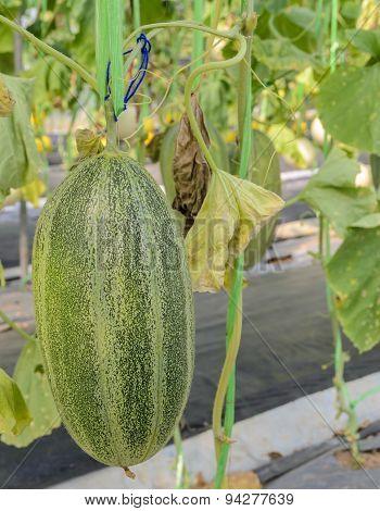 Santa Claus Melon Fruit On Its Tree
