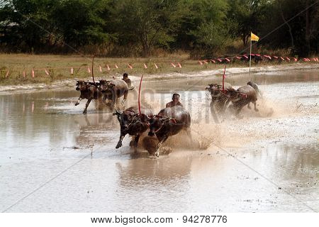 Water Buffalo Racing In Thailand.