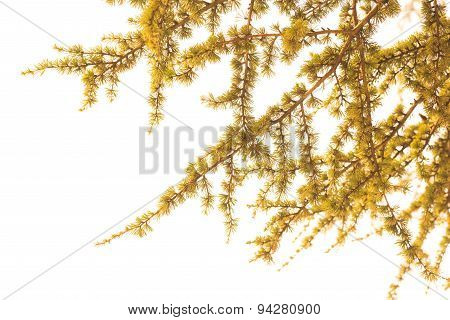 The Leaves Of Larch Tree With White Background In Vintage Style