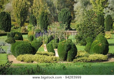 Buxus sempervirens / Common box topinaries