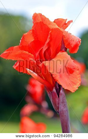 Cana generalis President close up of red flower