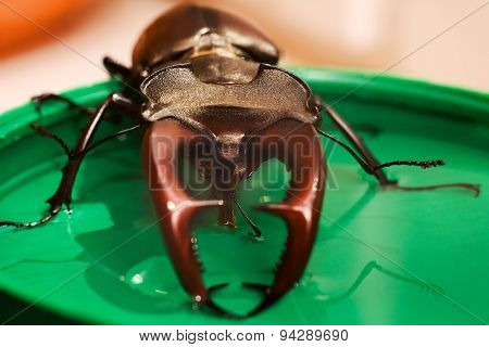 Beetle Drinking Syrup