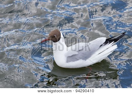 Seagull Floating In Water