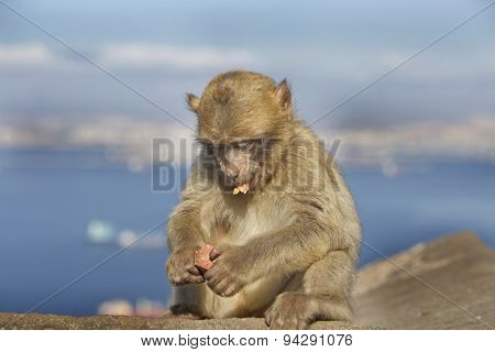 Young barberry monkey eating while sitting on a wall