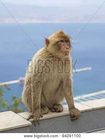 Barberry Monkey sitting on a wall