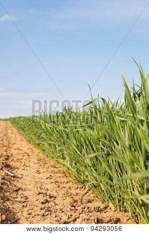 Border Of Corn Field