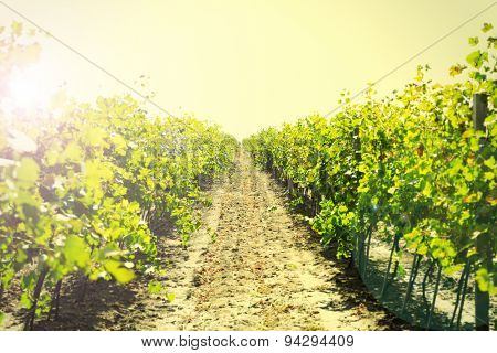 Vineyard plantation