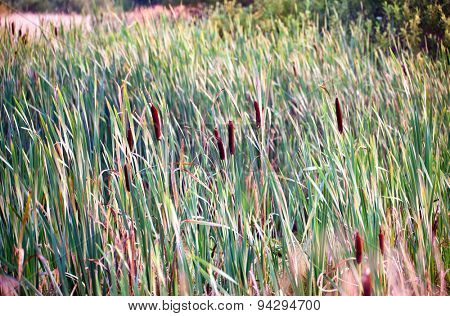 Background of bulrush in marsh in sunset time
