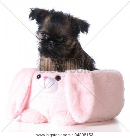 easter puppy - brussels griffon sitting inside an pink easter basket