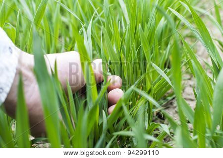 Touching Hand To The Green Shoots Of Wheat
