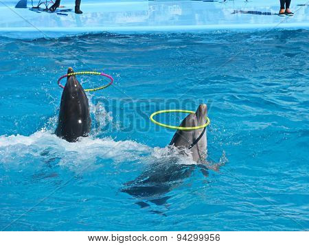 two dolphins come forward in water with rings