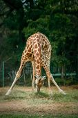 stock photo of bend  - African giraffe bending down to eat grass, Mysore zoo, India ** Note: Visible grain at 100%, best at smaller sizes - JPG