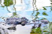 foto of crocodile  - Big Brown and Yellow Amphibian Prehistoric Crocodile - JPG