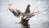stock photo of parade  - A female Mallard duck goes out looking for action and parading for a mate - JPG
