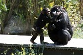 stock photo of funny animals  - baby chimpanzee kissing his mother funny look - JPG