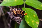 picture of caterpillar  - Close up of golden birdwing  - JPG