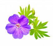 foto of geranium  - closeup of beautiful blooming purple Bloody Crane - JPG