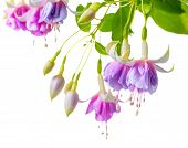 image of pompous  - blooming beautiful twig of lilac and white fuchsia flower is isolated on white background  - JPG