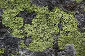 picture of lichenes  - Yellow map lichen on a grey granitic rock - JPG