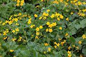 pic of marshes  - Marsh marigold flowers  - JPG