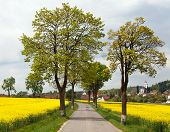 stock photo of linden-tree  - road with village lime trees and rapeseed field - JPG