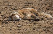 pic of mongrel dog  - Mongrel dog lying on sand at hot summer day - JPG