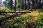 picture of dead plant  -  Dead broken trees in summer forest - JPG
