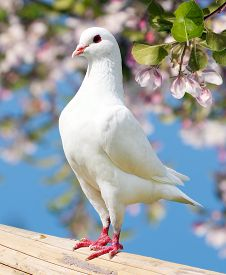 foto of pigeon  - one white pigeon on flowering background  - JPG
