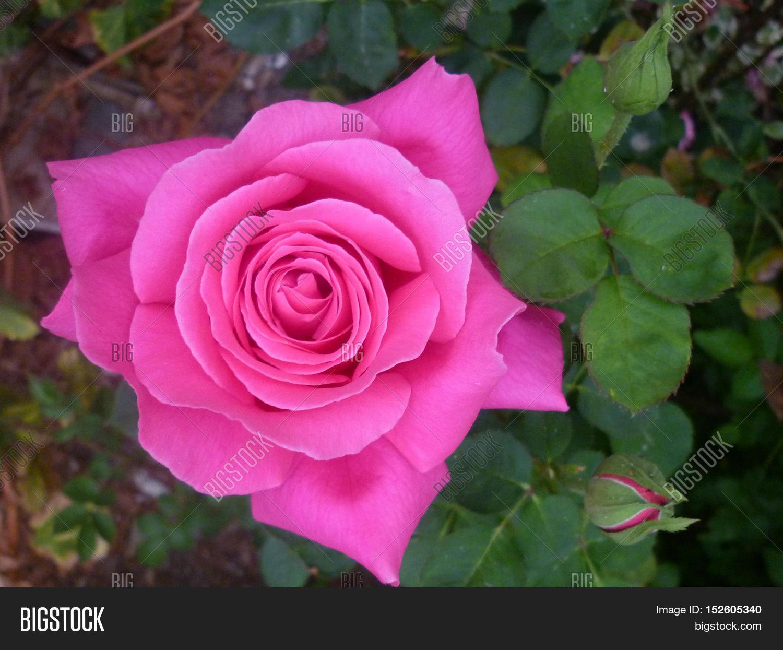 Imagen Y Foto Flores Hermosas De Jardín, Rosas,