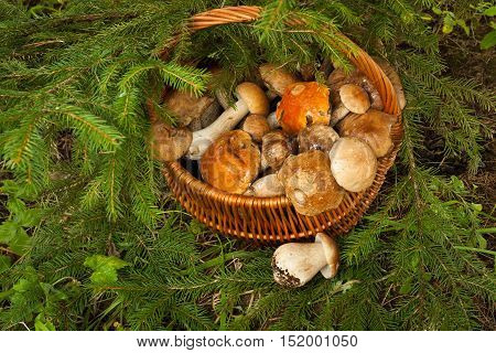 Fresh Edible Mushrooms In Wattled Basket Near fir-tree In Forest Top View. Wicker Basket With Mushrooms. Mushroom Brown Cap Boletus (Leccinum Scabrum) Orange-Cap Boletus And Porcini.