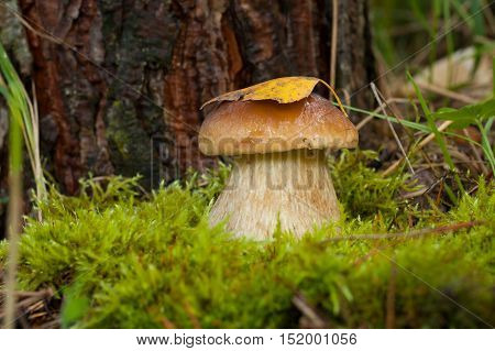 One Edible Mushroom Boletus Edulis (Porcini) On Green Moss In Forest Close Up. Dry Yellow Leaf On Hat Mushroom.