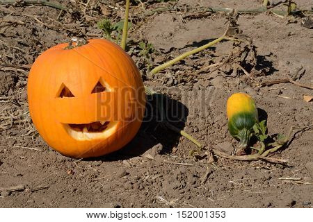 Jack O'Lantern face and small young green pumpkin on vine in pumpkin patch agricultural field
