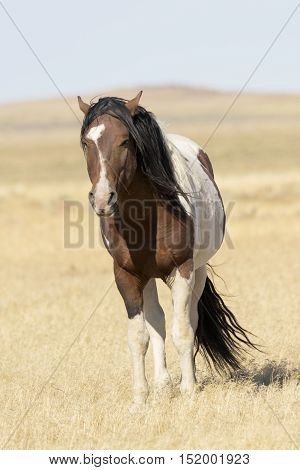A pinto wild horse with autumn wind blowing mane and tail in dry grasses of Utah in America's West. Location is Onaqui Wild Horse Management Area near Dugway. Copy space available on vertical photograph.