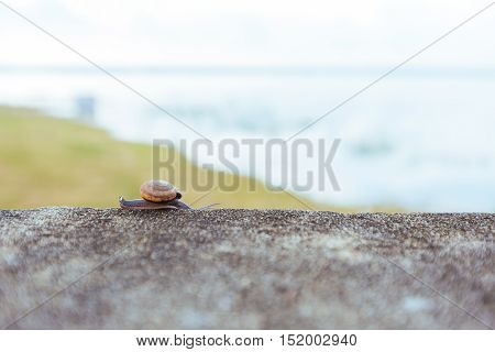 Snails Sliding On The Concrete Wall.