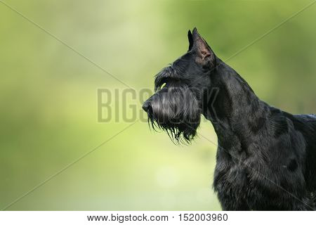 Dog Giant Schnauzer pet walking in a summer park