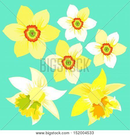Set Of Yellow Daffodil Flower. Vector Illustration
