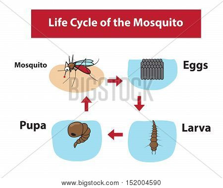 Life Cycle of the Mosquito in color flat style vector