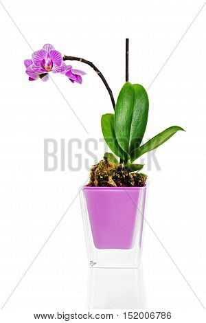 miniature orchid arrangement centerpiece in vase isolated on white background