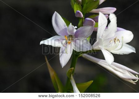 Flower of the plantain lily Hosta sieboldii.